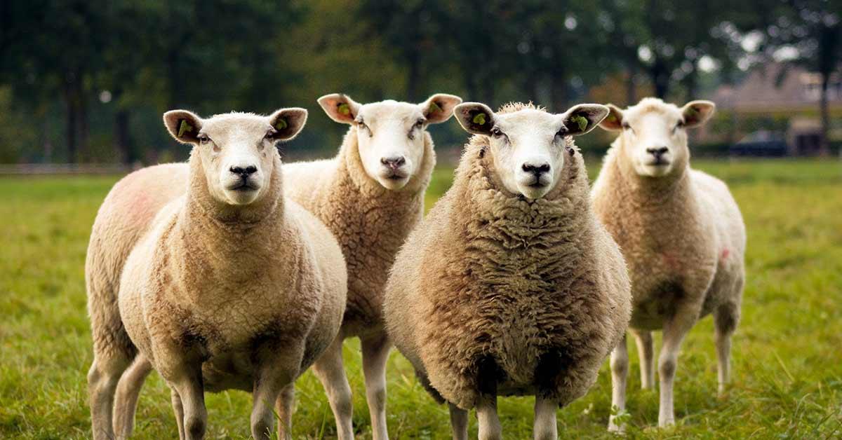 Farm Insurance Cattle